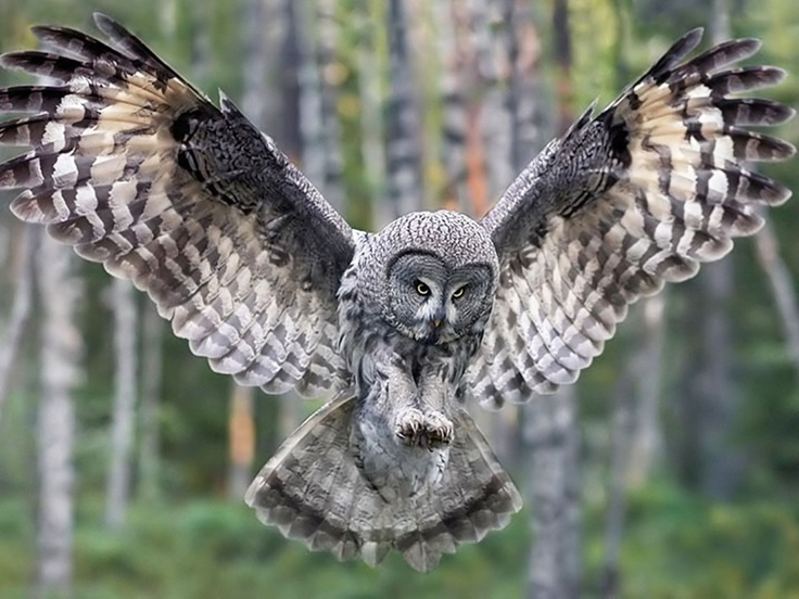 Great Gray Owl (Strix nebulosa) Beautiful owl, Owl pictures