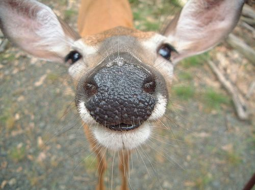 Would you like a kiss?: A Kiss, Mirror Mirror, Critter, Big Nose, Creatures, Cousins, Funny Animal, Black, Deer