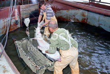 Réservoir, Poisson d'eau douce, Poisson de mer, Surchargé de travail, Astrakhan Photo libre de droits