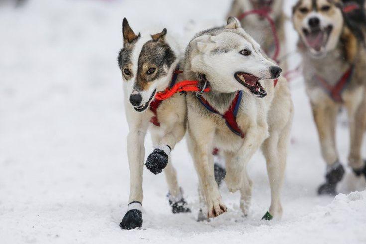 13 stunning photos of people racing dogs across Alaska during the Iditarod