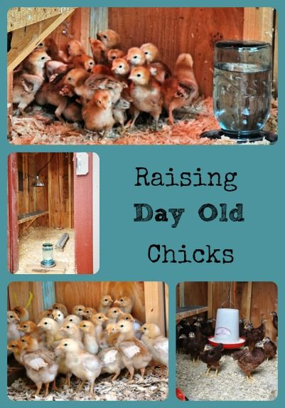 Spring is going to be here soon, and it's time for�raising day old chicks. Getting day old chicks and�raising them�is