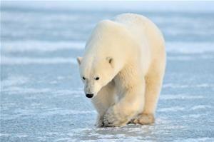 Niedźwiedzie polarne w Arktyce już odczuwają efekt cieplarniany | Aktualności o…