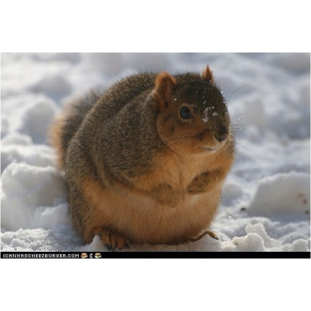 Fat squirrel in a little body