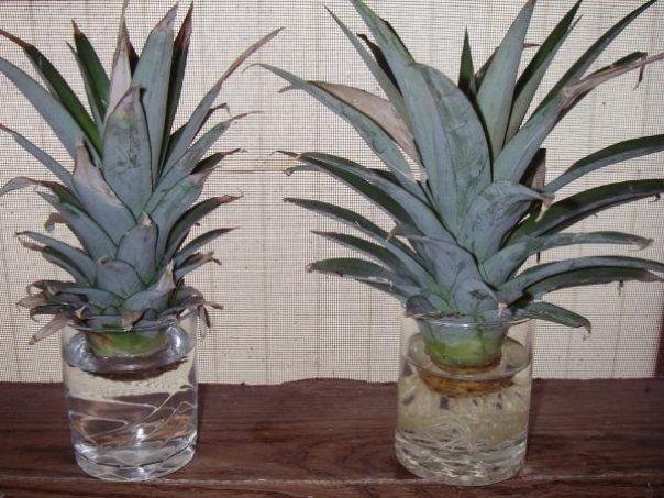 Ananasul, desi este un fruct exotic, poate fi cultivat si in Romania, in sere sau, de ce nu, chiar in propria locuinta. Este foarte simplu sa iticresti propriul tau ananas, fie ca stai la bloc sau la casa. Iata care … Continuă citirea →