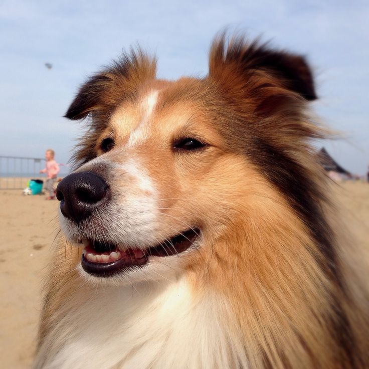 #shelty #beach #holland #portrait #dog