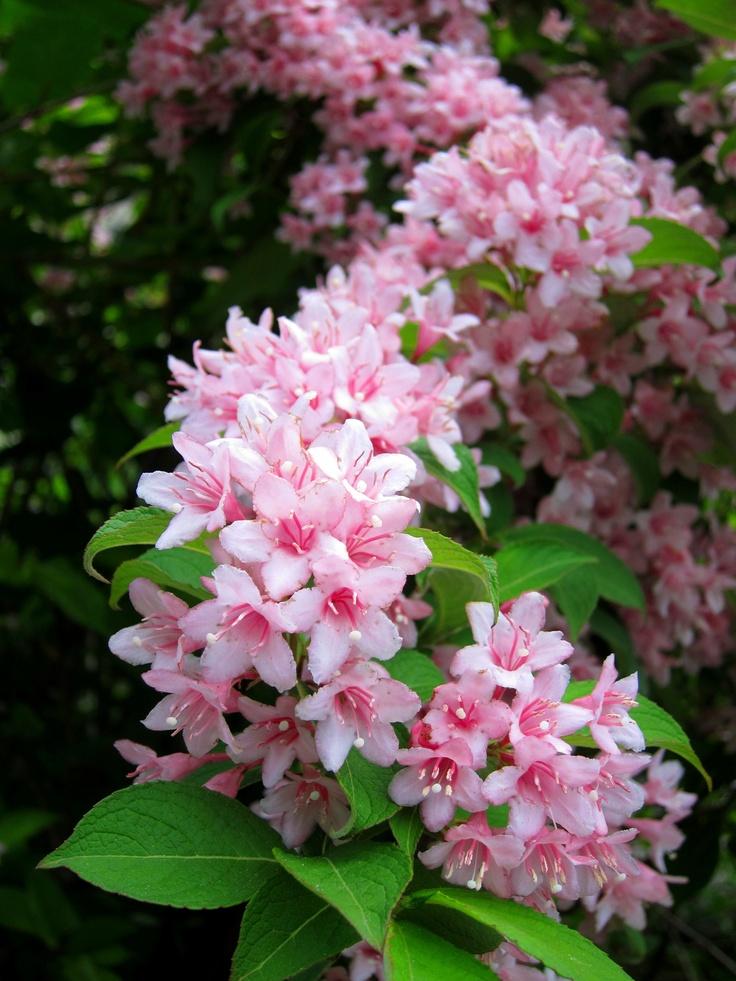 Weigela hortensis flowers weigelas pinterest for Low maintenance flowering shrubs
