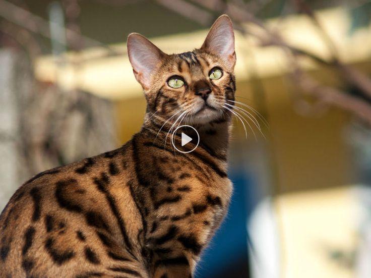Sportif, plein d'entrain et d'une grande gentillesse, le bengal est une crème de chat.