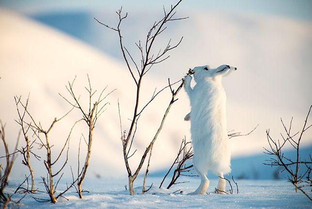 Arctic rabbit nibbling