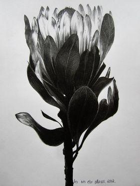 """Saatchi Online Artist Ira van der Merwe; Drawing, """"Protea Study V"""" #art"""