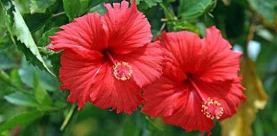 bunga kembang sepatu dan bagian-bagiannya,cara menanam bunga kembang sepatu,bunga kembang sepatu dan penjelasannya,klasifikasi bunga kembang sepatu,ciri ciri morfologi bunga kembang sepatu,