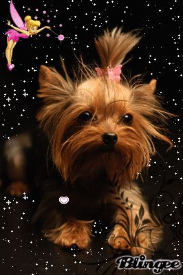 "Yorkie Best Animated Gifs | This ""yorkshire terrier"" picture was created using the Blingee free ..."
