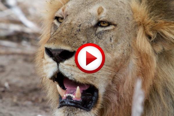 Why lion don't attack the pig   #lions, pigs, #animals, #videos, #videobox, #pinsland, https://apps.facebook.com/yangutu