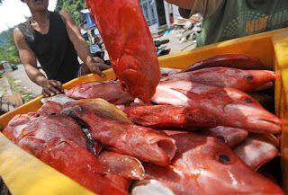 Budidaya kakap merah di air payau, cara budidaya ikan kakap merah di tambak, harga kakap merah air tawar, kakap putih kandungan gizi,