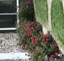 how to prune knockout roses in fall