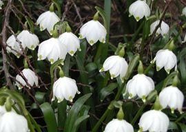 Leucojum vernum - Märzenbecher, Frühlings-Knotenblume