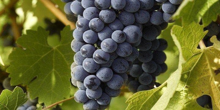vinjournalen.se -  Vin Skola : Liten ungersk druvordlista |  Vinlandet Ungern är känt för sina prisvärda och härliga vita och röda viner och börjar nu även satsa på alltmer kvalitativa viner. Man har en hel del goda inhemska druvor och vill man få en bra överblick över de druvor som odlas inom vinproduktionen, så verkar det nästan som att man behöver... http://wp.me/p73gTR-3Cs