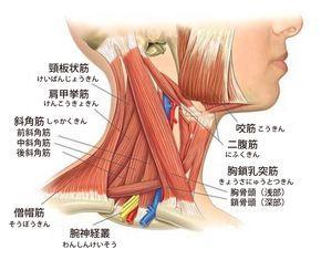 首こりに関係する筋肉