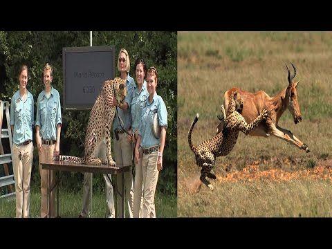 Cheetah Speed Attack   Cheetah Breaks Speed Record Beats Usain Bolt By S...