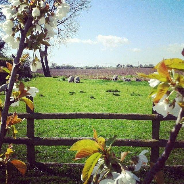 Spring at Romney Marsh Wools