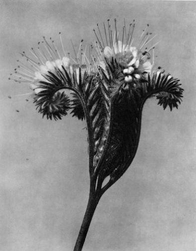 Phacelia tanacetifolia, Tansy phacelia, flowering panicle - Karl Blossfeldt (1865-1932)