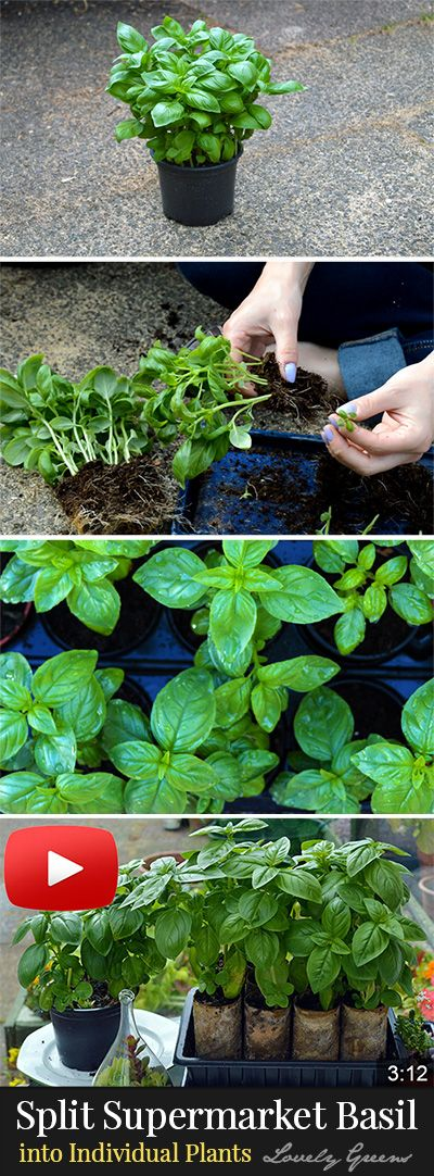 How to split supermarket Basil into individual plants. Blog and video tutorial! #herbs