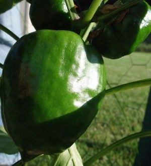 How To Start Growing Peppers – Growing Bell Peppers In The Garden | Gardening Know How (next to tomatoes - get your salsa corner started)