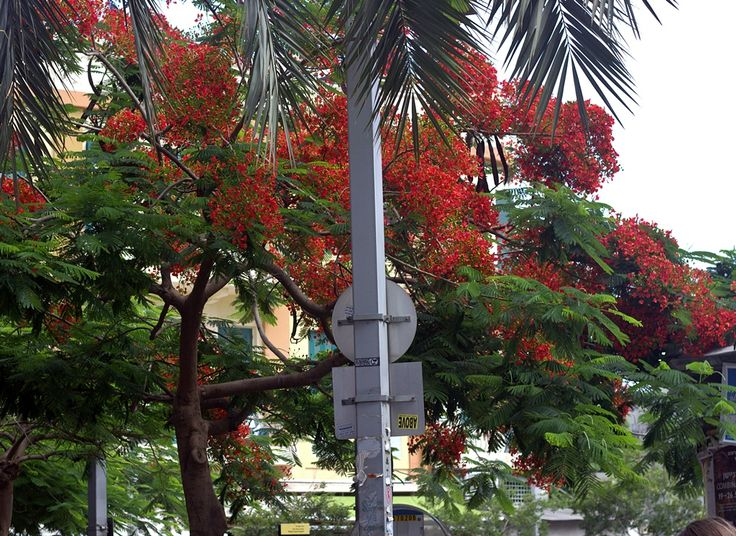 Poincianas are blooming again.May 2016