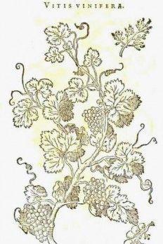 Réva vinná z Mathioliho herbáře z roku 1586