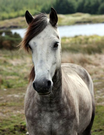 Dappled Grey Horses for Sale  Equine Now