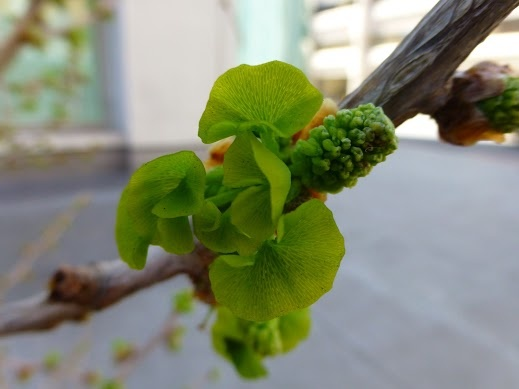 17 Best Images About Ginko Biloba On Pinterest
