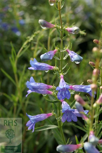 Buy beard tongue Penstemon 'Jean Grace ('Penbow')': Delivery by Crocus