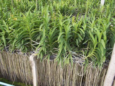 Roots on Vandaceous plants - Orchid Board - Most Complete Orchid Forum on the web !