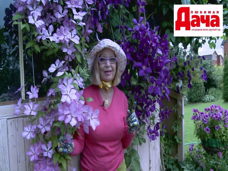 Что нужно для обильного цветения клематисов