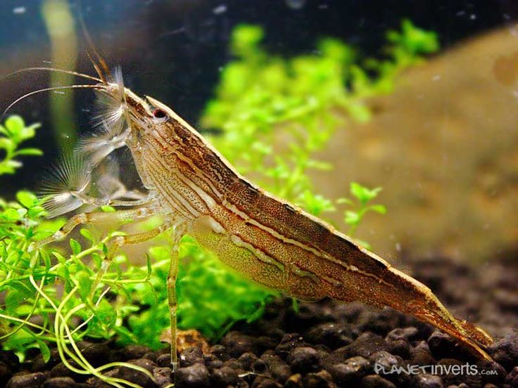 Bamboo Shrimp .:. Atyopsis moluccensis .:. Freshwater Aquarium Shrimp Species Information Page