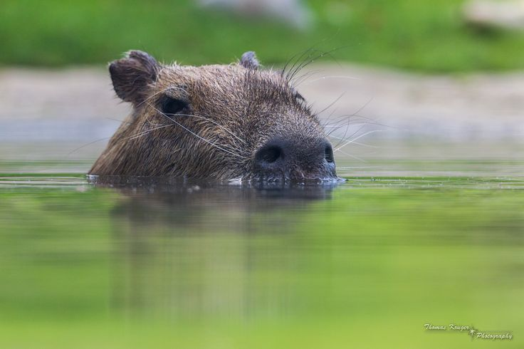 1000+ images about Capybara on Pinterest | Popsicles ...