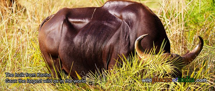 The time to see the Gaur (wild ox) is NOW! Come to Kanha. http://wildplacesofindia.com/kanha-national-park-and-tiger-reserve.html