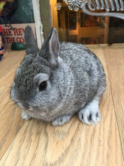 Chinchilla Netherlands dwarfs | Preston, Lancashire | Pets4Homes