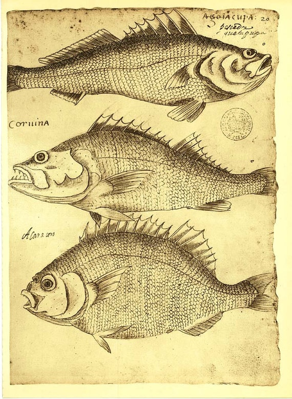 Sketch Drawing of Fishes of Brazil  by Frei by CarambasVintage