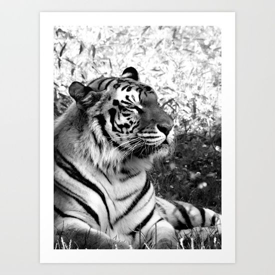 Beautiful Bengal Tiger captured in classic black and white photography, relaxes in the grass on a hot summer day.