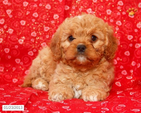 Foxy - Cavapoo Puppy for Sale in Dornsife, PA - Cavapoo - Puppy for Sale