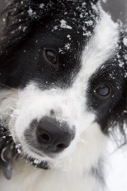 bailey the border collie
