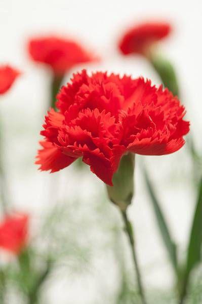 Garofano rosso - Nel linguaggio dei fiori esprime un amore ardente e passionale. Il rosso è anche il colore che simboleggia la passione e che ricorda l'inferno. La leggenda narra che il garofano rosso sia nato dalle lacrime della Madonna. Mentre invece il garofano rosso in Giappone viene usato per indicare il lutto.