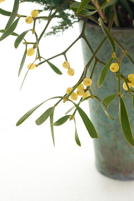 mistletoe | Flickr ヤドリギ