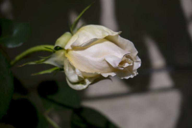Bocciolo di rosa bianca 2
