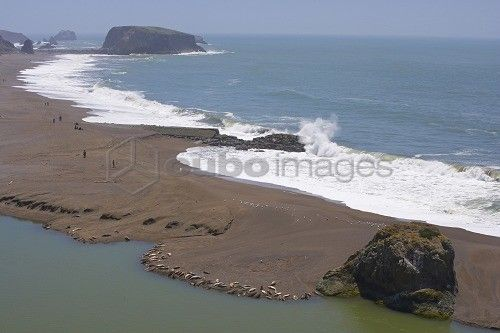 Sea lions at the mouth of the Russian River, Pacific Ocean, Goat Rock State Beach, Sonoma, Highway 1, California, USA, America