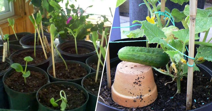You'll taste the difference in your salads when you add home-grown cucumbers to the mix! Here's how to grow them in a convenient pot.