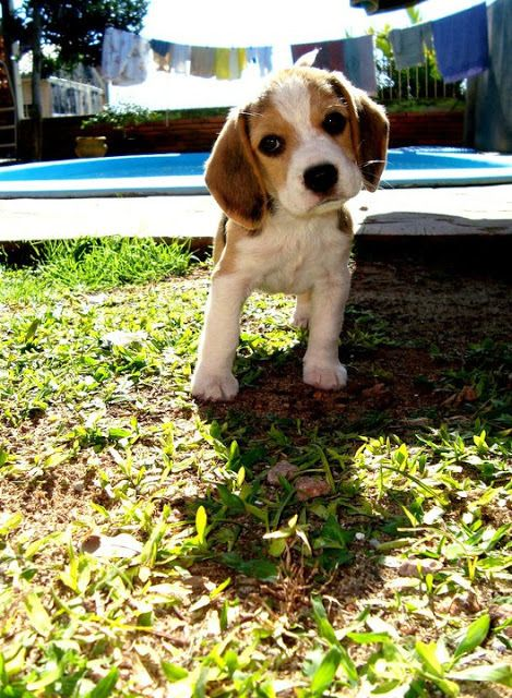 beagle love. I remember when my beagle was that little. (;