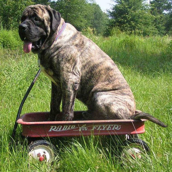 Brindle English mastiff... PULL ME, PULL ME! So cute