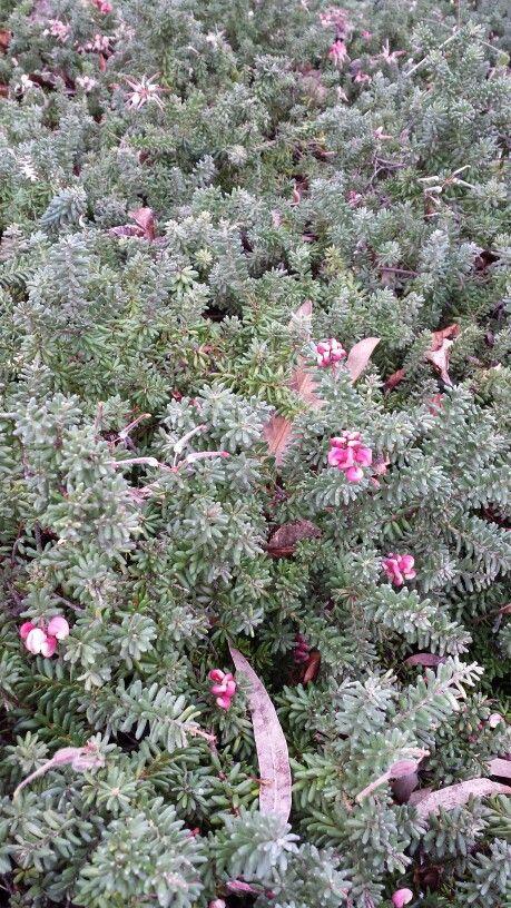 Grevillia Lanigera ground cover