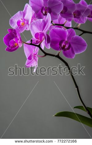 orchid on the table on a gray background